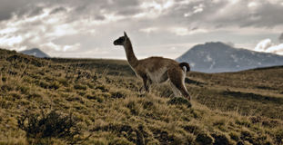 Guanaco grazing in south america Royalty Free Stock Photography