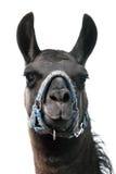 Guanaco head isolated Royalty Free Stock Photos
