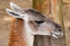 Guanaco head shot Stock Images