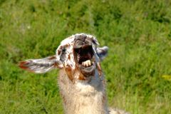 guanaco head2 Stock Images