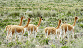 Guanaco herd in pampa bushes royalty free stock images