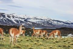 Guanaco i den Torres del Paine nationalparken, Laguna Azul, Patagonia, Chile Fotografering för Bildbyråer