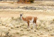 Guanaco i Patagonia royaltyfri bild