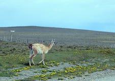 Guanaco i Tierra del Fuego Arkivbilder