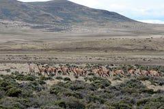 Guanaco i Tierra del Fuego Fotografering för Bildbyråer