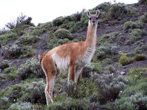 Guanaco im Nationalpark Torres Del Paine Stockfotografie