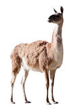 Guanaco. Isolated on white Royalty Free Stock Photo