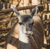 Guanaco (Lama) Imagem de Stock Royalty Free