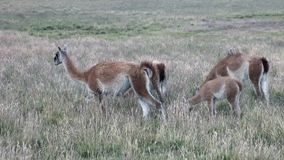 Guanaco lama exotic mammal wild animal in Andes mountains of Patagonia. stock video