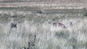 Guanaco lama exotic mammal wild animal in Andes mountains of Patagonia. stock footage