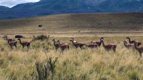 Guanaco lama exotic mammal wild animal in Andes mountains of Patagonia. stock video footage