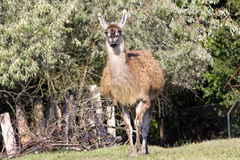 Guanaco (Lama guanicoe). A male guanaco is coming royalty free stock photo