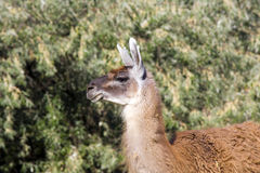 Guanaco (Lama guanicoe). A male guanaco is coming stock photography