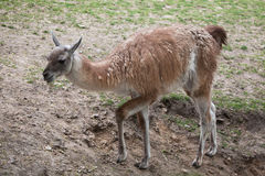 Guanaco (Lama guanicoe), also known as the Guanaco llama. Royalty Free Stock Photos