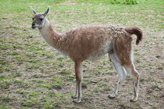 Guanaco (Lama guanicoe), also known as the Guanaco llama. Royalty Free Stock Image