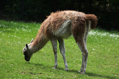 Guanaco (Lama guanicoe) Royalty Free Stock Photo