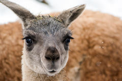 Guanaco (Lama guanicoe) Royalty Free Stock Photos