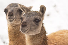 Guanaco (Lama guanicoe) Royalty Free Stock Photography