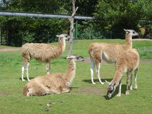 Guanaco - Lama guanicoe Stock Photos