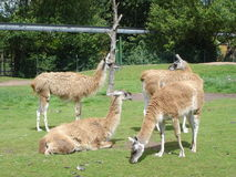 Guanaco - Lama guanicoe Royalty Free Stock Photography