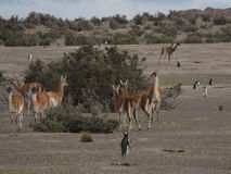 The guanaco (Lama guanicoe) Royalty Free Stock Photos