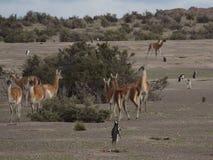 The guanaco (Lama guanicoe) Royalty Free Stock Photos