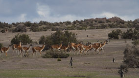 The guanaco (Lama guanicoe) Royalty Free Stock Photo