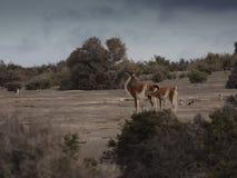 The guanaco (Lama guanicoe) Stock Photography