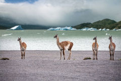 Guanaco - Lama guanicoe - Torres del Paine - Patagonia - Chile. A group of Guanaco (Lama guanicoe) in Torres del Paine National Park in Patagonia in southern Stock Photo