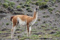 Guanaco - Lama guanicoe - Torres del Paine - Patagonia - Chile Royalty Free Stock Image