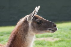 Guanaco - Lama guanicoe Royalty Free Stock Photo
