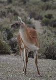 The guanaco (Lama guanicoe) Royalty Free Stock Images