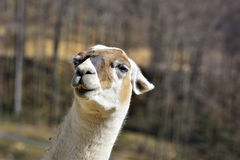 The Guanaco Lama guanicoe in the zoo Royalty Free Stock Photo