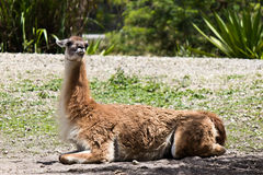Guanaco - Lama guanicoev Stock Photo