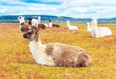 Guanaco lamas in national park Torres del Paine mountains, Patagonia, Chile, South America. Copy space for text stock photo