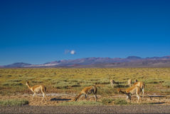 Guanaco lamas Royalty Free Stock Photos