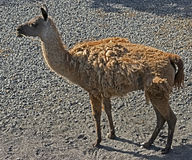 Guanaco 1 Stock Photo