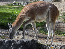 Guanaco 8 Royalty Free Stock Images