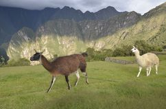 Guanaco and llama in Machu Picchu, Peru. stock photo