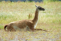 Guanaco lying on grass Stock Photos