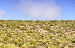 Guanaco Stock Photo