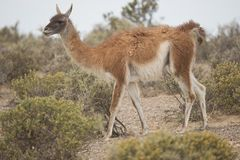 Guanaco munching Stock Image