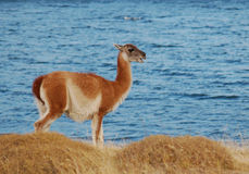 Guanaco in National Parc Torres del Paine Royalty Free Stock Photography