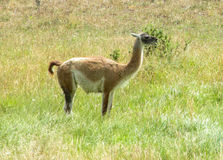 Guanaco in natural area. In Patagonia stock photography