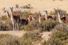 Guanaco nel Patagonia Immagine Stock