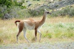 Guanaco nel Patagonia Fotografia Stock