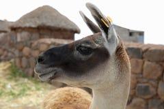 Guanaco nel Perù Il Sudamerica fotografia stock libera da diritti