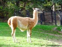 Guanaco nello zoo Fotografia Stock Libera da Diritti