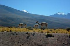 Guanaco no deserto de Atacama fotos de stock royalty free