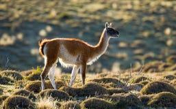 Guanaco no parque nacional Torres del Paine chile patagonia Fotos de Stock Royalty Free